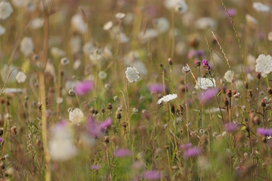 Arable flowers. Image by Andy Hay (rspb-images.com)