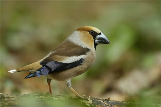 Hawfinch. Image by Andy Hay (rspb-images.com)
