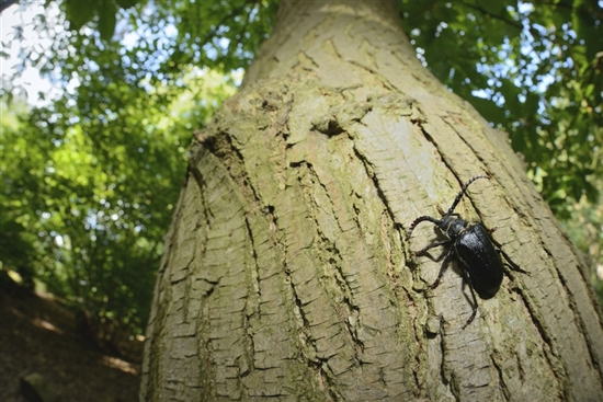 Tanner beetle. Image by Ben Andrew (rspbn-images.com)