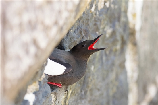 Black guillemot nesting in harbour wall. Image by Louise Greenhorn (rspb-images.com)
