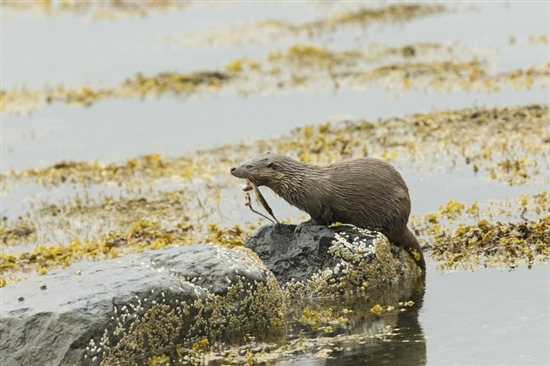 Otter. Image by Louise Greenhorn (rspb-images.com)