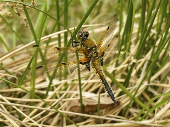 Four-spotted chaser. Image by Paula Baker (rspb-images.com)
