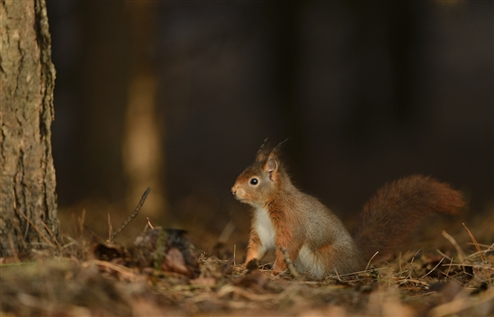Red squirrel. Image by Ben Andrew (rspb-images.com)