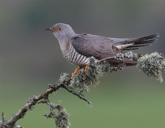 Female cuckoo in Devon. Image by Professor Charles Tyler, University of Exeter