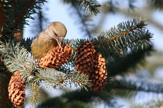 A female common crossbill foraging on a Sitka spruce cone. Photo by Ron Summers.