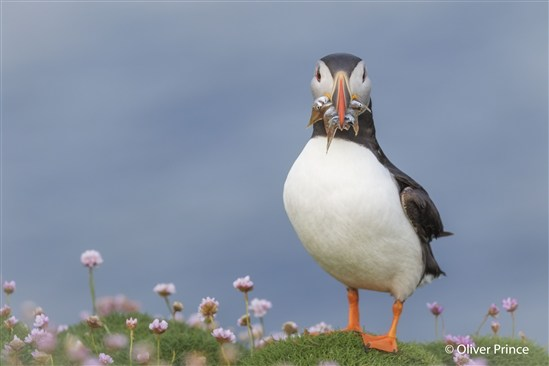 Puffin with fish. Image by Oliver Prince.