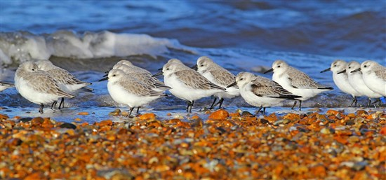 Sanderling at Snettisham - Les Bunyan