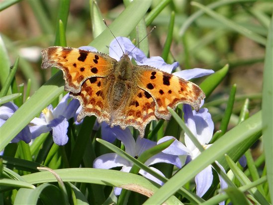 First comma of 2013 in the garden, nectaring on Chionodoxa