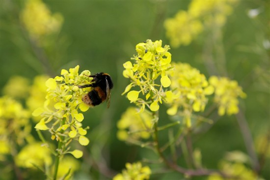 bumblebee on oilseed rape