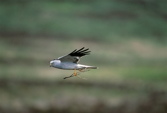 Male hen harrier. Image by Andy Hay (www.rspb-images.com)