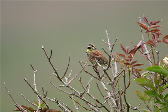 Cirl bunting singing. Image by Andy Hay (www.rspb-images.com)