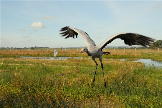 Recently released crane on the Somerset Levels. Image by Nick Upton (www.rspb-images.com)