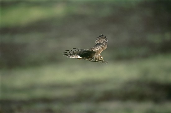 Female hen harrier. Image by Andy Hay (www.rspb-images.com).