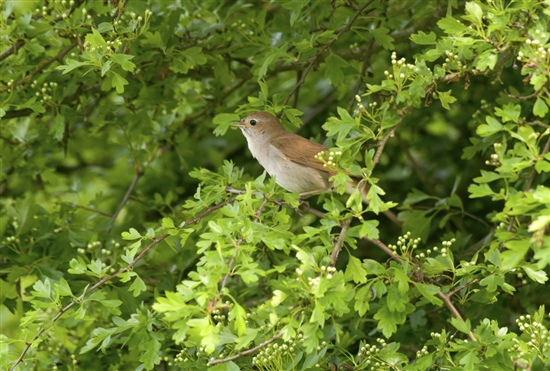 Nightingale singing. Image by John Bridges (www.rspb-images.com)