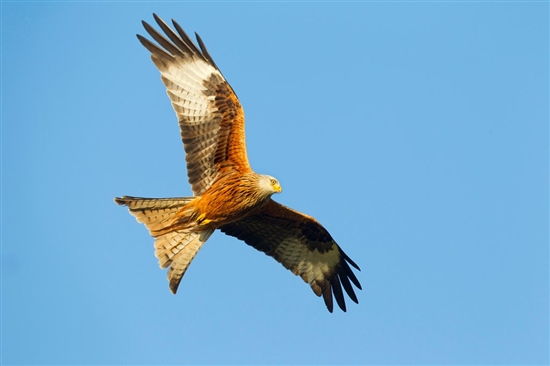 Red kite. Image by Ben Hall (www.rspb-images.com)