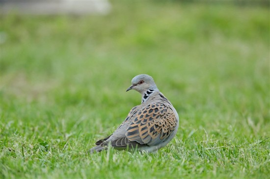 Turtle dove. Image by Andy Hay (www.rspb-images.com)