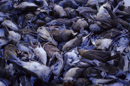 A pile of dead blackcaps, a bird often heard in UK gardens, which have been trapped and killed. Blackcaps are the main target of the trappers on Cyprus (Image: Guy Shorrock, RSPB)