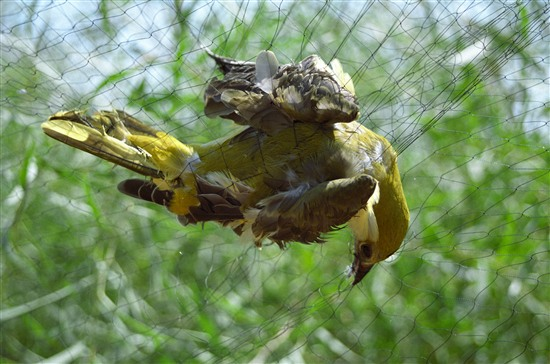 This golden oriole, also caught in an illegally set mist net, was rescued. Thousands more are not so lucky. Image: Guy Shorrock (RSPB)