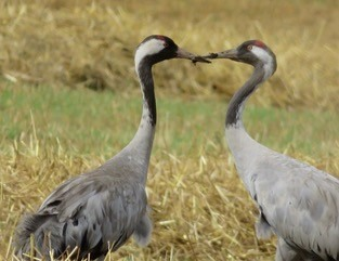 I Hope This Crane Is Just Hiding Other >> Crane Spotting Scottish Nature Notes Our Work The Rspb Community