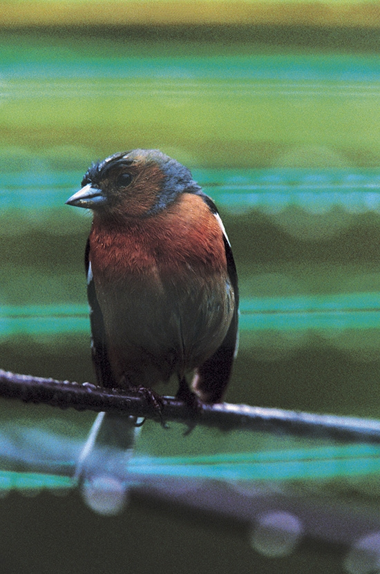 6 birds to listen for in the dawn chorus - Natures Home