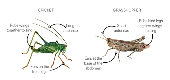 What's the difference between a cricket and a grasshopper