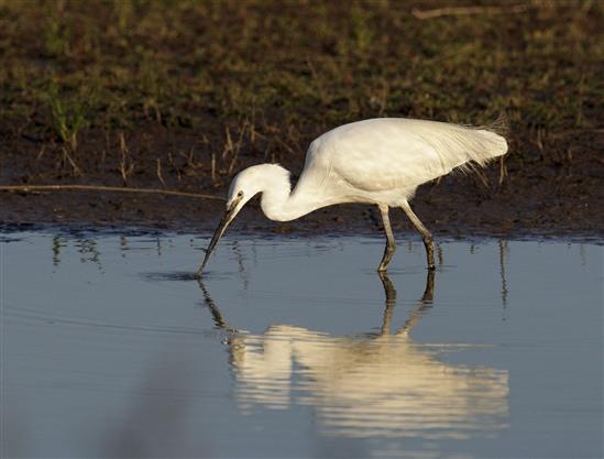 Little Egret by Graham Catley