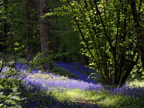 Coppiced hazel tree in bluebell woodland by Fraser Elliot Flickr CC
