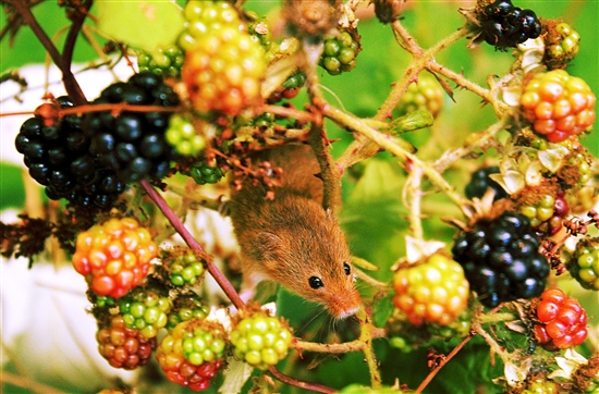Field mouse on blackberries by Siddie Nam Flickr CC
