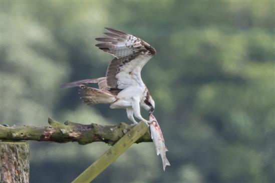 MONTGOMERYSHIRE BIRDS