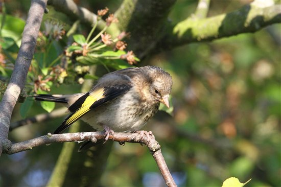 Lovely little fledgling, A baby goldfinch - Photography ...