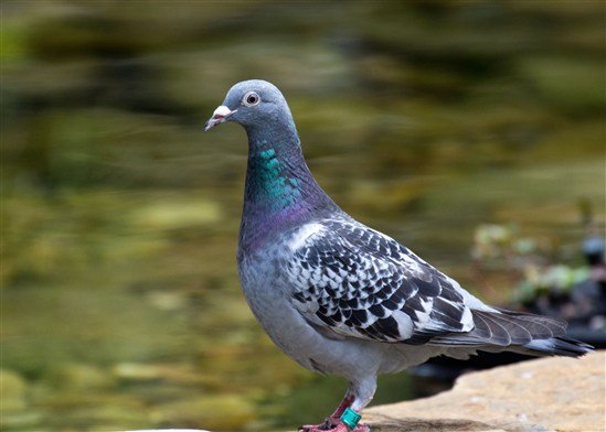 Racing Pigeon Chat Rooms