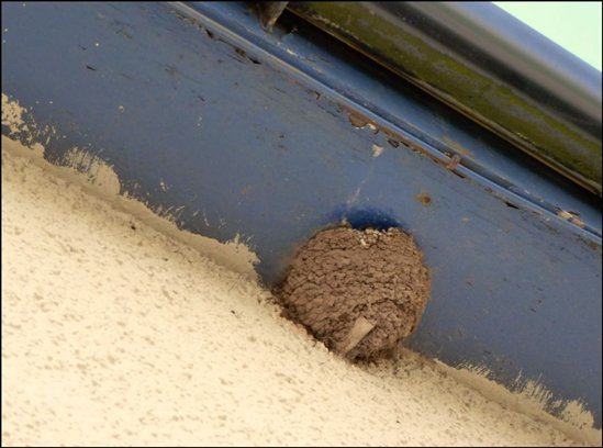 Swifts Attacking Our House Martins Nest Hello Chat