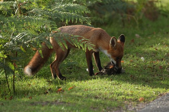 Red fox eating rabbit - photo#11