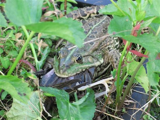 Frog eating bird - photo#10