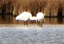 Spoonbills at Lodmoor