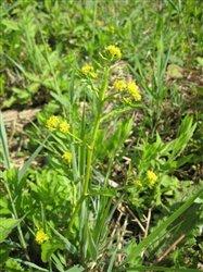 Marsh Yellowcress