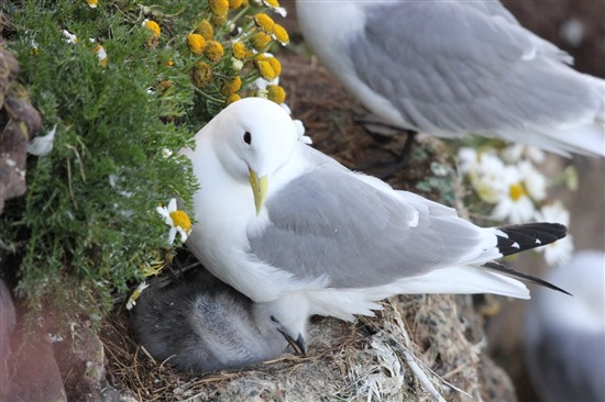 kittiwake on cliff edge with chick