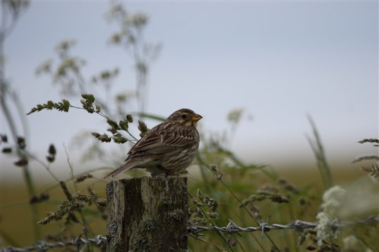 corn bunting perched on fencing
