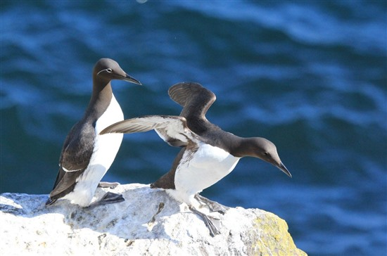 teo perching guillemots, one with wings spread