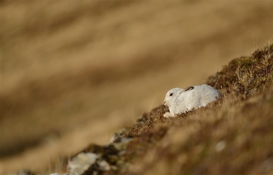 mountain hare on hill