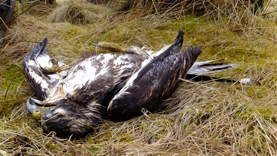 dead buzzard on ground