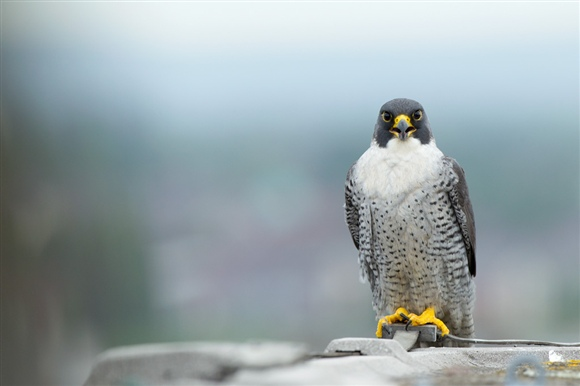 Peregrine. Image by Ben Hall (www,rspb-images.com)