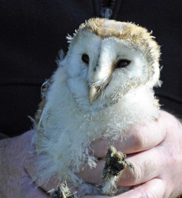Barn Owl Chicks - Loch Frisa