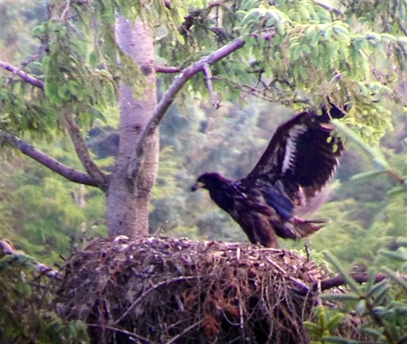 Chick on nest Mull Eagle Watch