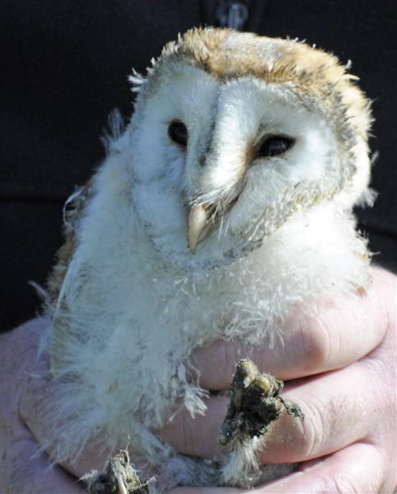 Barn Owl Chick - Photo Debby Thorne