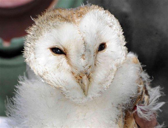 Barn Owl Loch Frisa