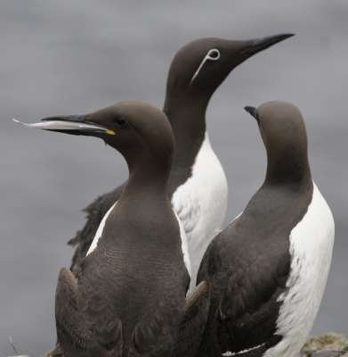 Guillemots - Photo Debby Thorne