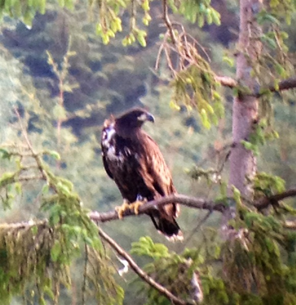 Chick at Mull Eagle Watch