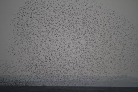A single, giant flock of black tailed godwits photgraphed by John Whitting