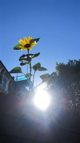 Sunshine and a sunflower in a London garden